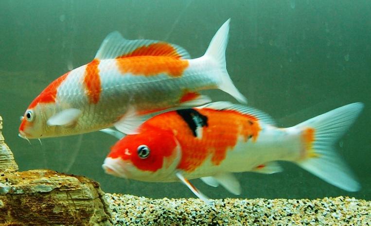 锦鲤鱼图片 -动物图片