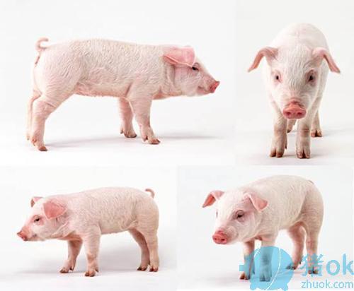 极简 猪 动物素材 ppt