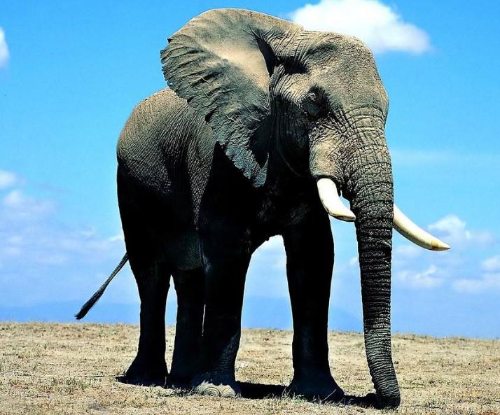 大象图片 -动物图片