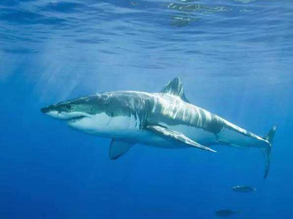 大鲨鱼图片_大鲨鱼简笔画图片大全_大鲨鱼视频_大鲨鱼