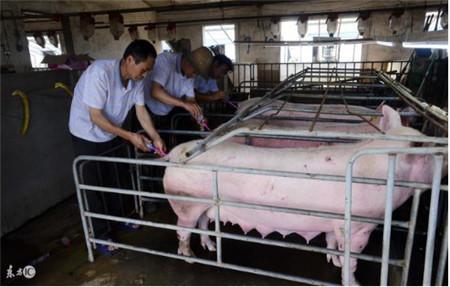 2017-12-19     人工授精的关键一步就在于将无污染的输精管插入母猪
