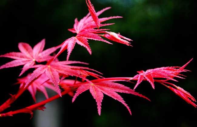 红枫树的繁殖方法_红枫树简笔画_日本红枫树_红枫树的
