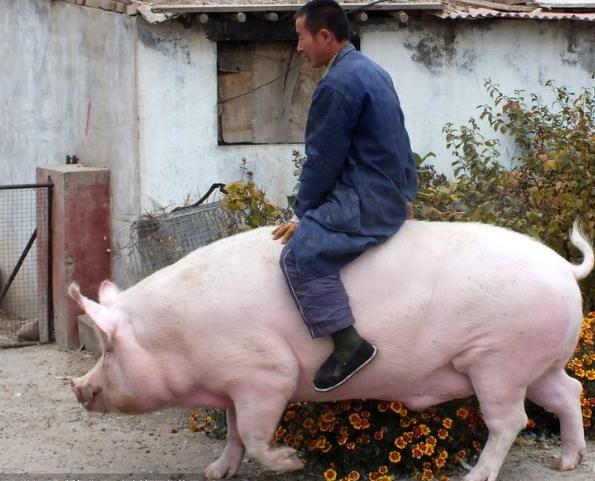 猪图片 -动物图片