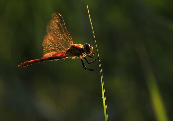 蜻蜓图片_荷叶蜻蜓图片_蝴蝶图片_螳螂图片 -动物图片