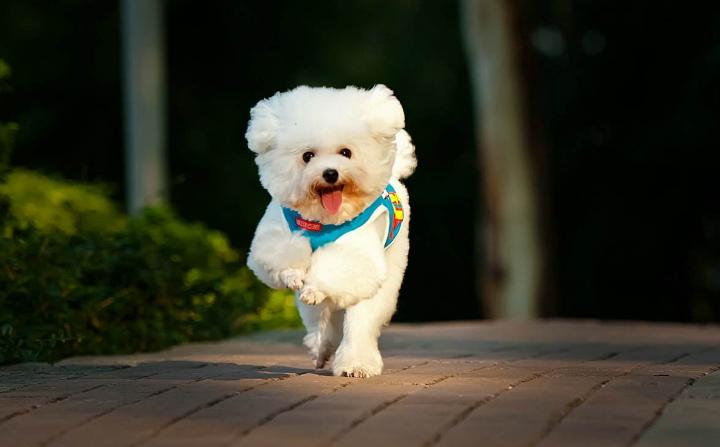 小型宠物狗品种图片_宠物狗品种图片大全_宠物狗的及