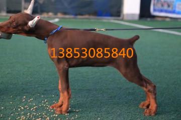 巴音郭楞养狗场出售纯种杜宾犬