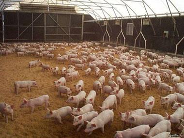 20头母猪场猪舍设计图