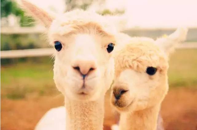 羊驼是个很温顺的动物,行走缓慢爱吃草,常常以卖萌,可爱,搞笑的样子