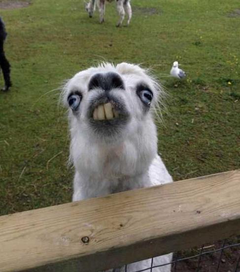 动物图片  羊驼是个很温顺的动物,行走缓慢爱吃草,常常以卖萌,可爱