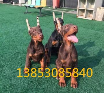 瑞安养狗场出售德系杜宾犬保健康