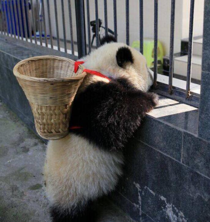 动物图片   熊猫是我国的国宝,也是我国独有的动物,熊猫总是圆滚滚的