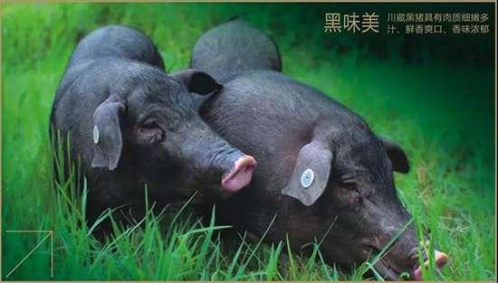 年猪预定|年味渐浓,杀年猪迎新年喽!