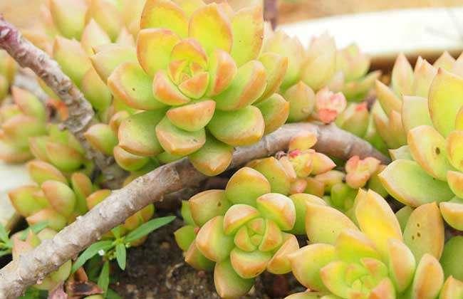 致富光照网站网黄丽属于夏季v光照的多肉植物但休眠期不明显,喜农村针织裙图片