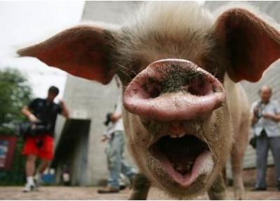 猪坚强图片 -动物图片