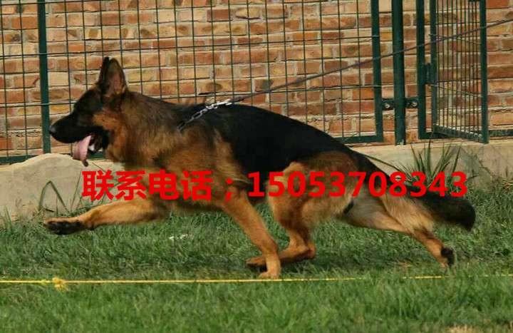 巴音郭楞哪里有出售萨摩耶犬的大型犬舍