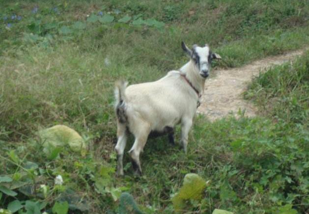 小山羊图片 -动物图片