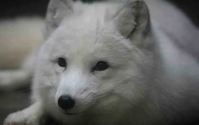 宠物频道 动物图片  蓝狐是最奇妙的动物,在狐狸品种当中是青出于蓝而
