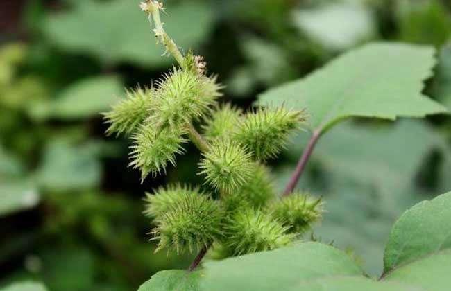 致富网站 聚焦三农  靠动物传播种子的植物有苍耳,蒺藜,鬼针草,山葡萄