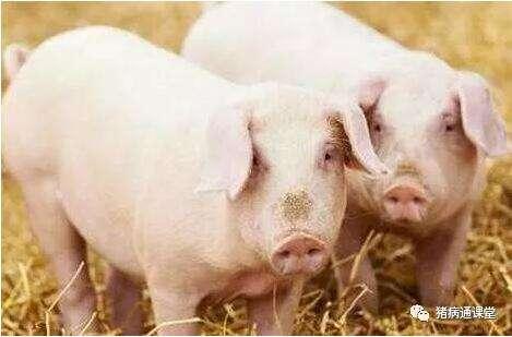 老兽医传授治病良方,猪传染性胸膜肺炎的诊治!