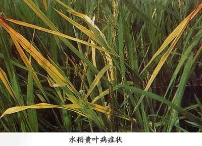 水稻抽穗矢量图