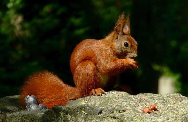 松鼠类,身长约30厘米,尾长约20厘米,主要生活在英国,这种可爱的小动物