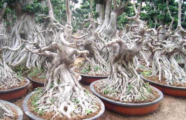 气根榕树盆景价格