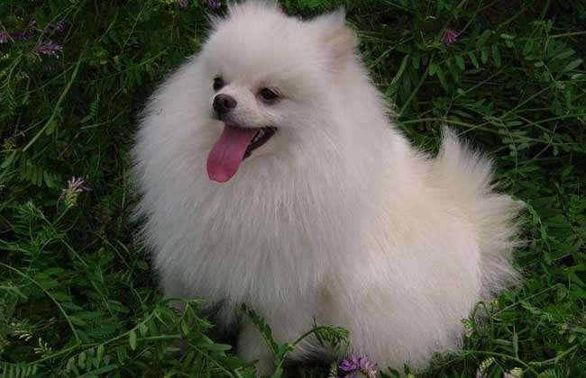 博美犬是小型犬中的一种,全身的毛很长,看上去非常可爱,原产于行德国,是世界上最为著名的玩赏犬之一,现在我国城市里养狗的人群非常多,也非常密集,所以像博美这种可爱的小型犬,是非常受大家的欢迎的,下面我们就一起来看一看博美犬多少钱一只吧!