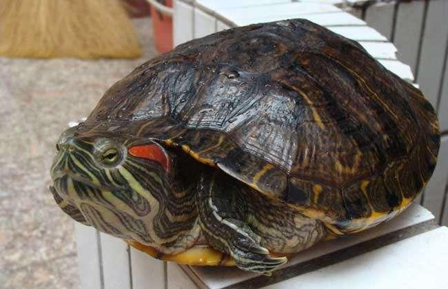 新闻资讯 农产品价格  巴西龟学名巴西红耳龟,别称红耳龟,可爱龟,秀丽