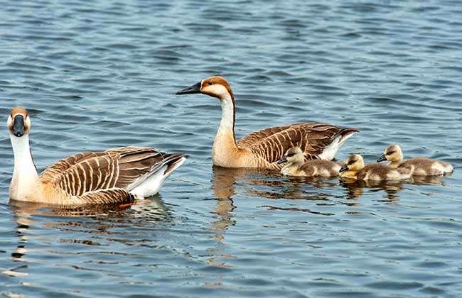 大雁属鸟纲鸭科动物,是雁亚科各种类的通称,中国常见的有鸿雁,灰雁,豆
