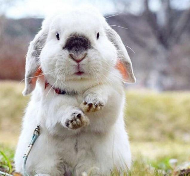 法国垂耳兔图片 -动物图片