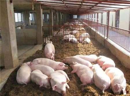 国家将全面助力生猪养殖,养猪户们的好日子来了