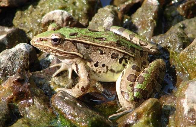 青蛙为无尾目蛙科的两栖类动物,分为很多种,常见的有黑斑蛙,牛蛙,虎纹