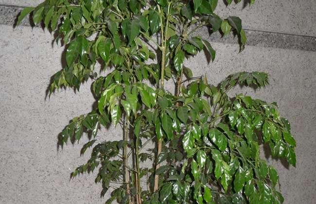 2,富贵树:富贵树为植物界,被子植物门,双子叶植物纲,豆目,豆科,槐属