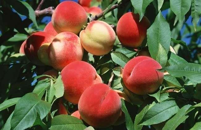 梅子,樱桃,杏子,桃子,李子的区别