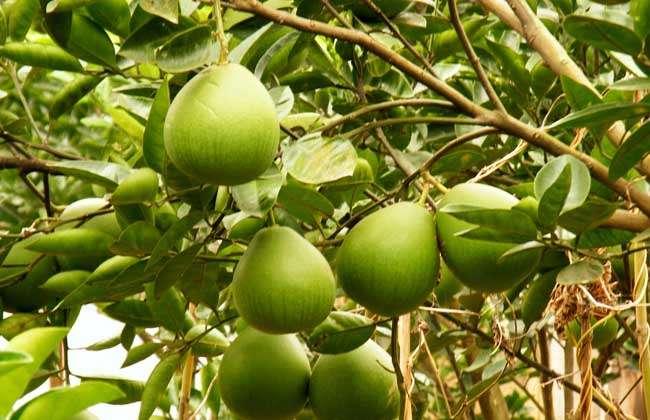 柑、橘、橙、柚是柑橘类水果中的不同品种,由于它们外形相似,易被人们所混淆,柑橘是橘、柑、橙、金柑,柚、枳等的总称,柑和橘的名称长期以来都很混乱,下面我们就一起来看一看柑、桔、橙、柚的区别有哪些吧!  柑子 柑子为芸香科植物柑等多种柑类的成熟果实,果实较大,近于球形,皮显黄色,橙黄色或橙红色,果皮粗厚,海绵层厚,质松,剥皮稍难,种子呈卵形。味甜酸适度,耐储藏。  橘子 橘子为芸香科植物福橘或朱橘等多种桔类的成熟果实,种类很多,有八布橘、金钱橘、甜橘、酸橘、宫川、新津橘、尾张橘、温州橘、四川橘等品种,果实较