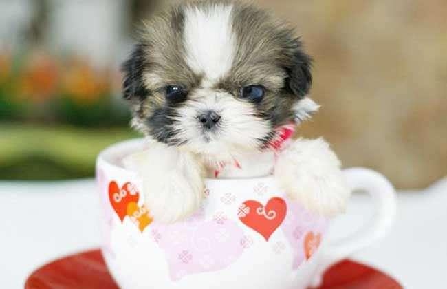 宠物频道 宠物饲养  4,健康护理:茶杯犬幼犬的腹部不宜长时间着地,易
