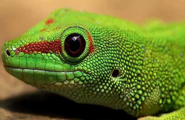 蜥蜴是有鳞目蜥蜴亚目内爬行动物的总称,别称四脚蛇,蛇舅母等,在世界