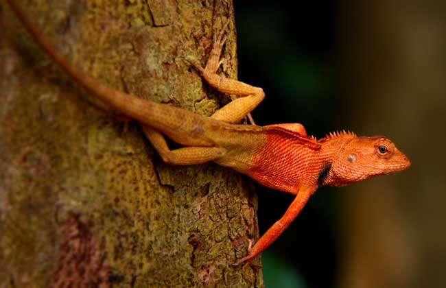3,爬行动物除蛇类外一般有两对5出的掌型肢,水生种类掌形如桨,指,趾