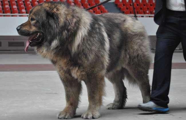 高加索犬vs藏獒哪个厉害