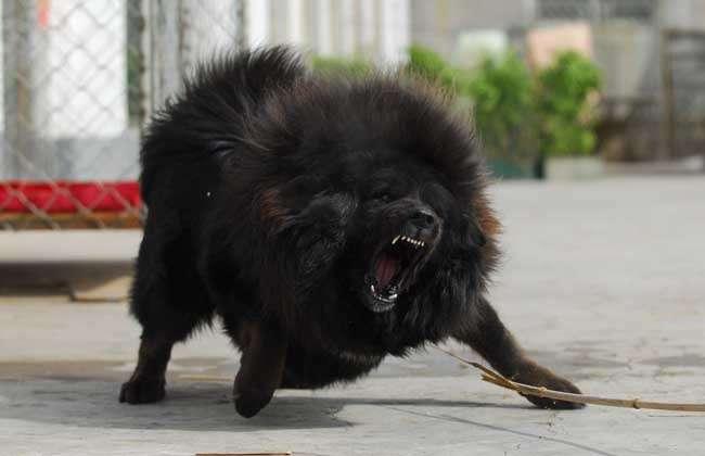 高加索犬vs藏獒哪个厉害?