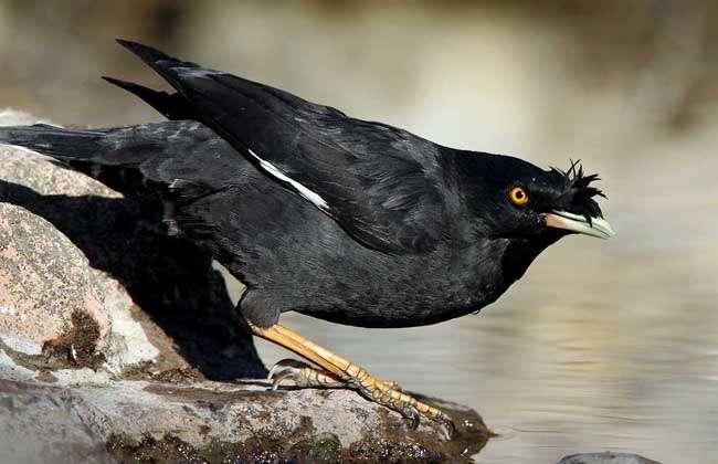 八哥鸟的饲养方法图片