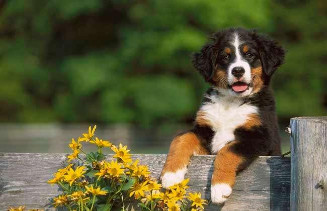 伯恩山犬的智商多高?