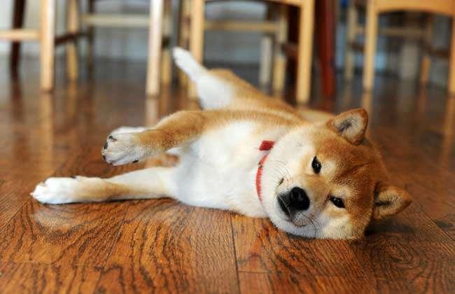 桌面壁纸可爱柴犬
