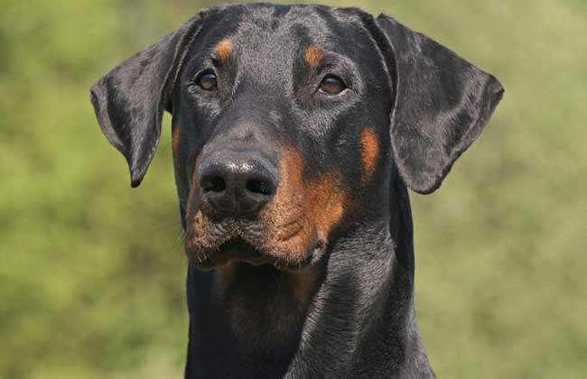 杜宾犬和罗威纳哪个好?