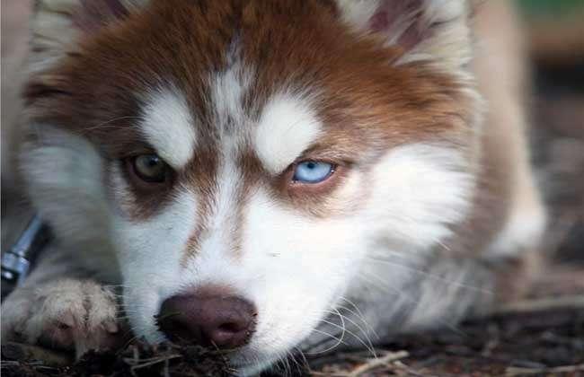 哈士奇学名西伯利亚雪橇犬,别称二哈、撒手没等,其哈士奇名字的由来是源自其独特的嘶哑声,性格多变,有的极端胆小,也有的极端暴力,进入大陆和家庭的哈士奇都已经没有了这种极端的性格,比较温顺,与金毛犬、拉布拉多并列为三大无攻击型犬类,下面我们就一起来看一看哈士奇为什么叫二哈吧!