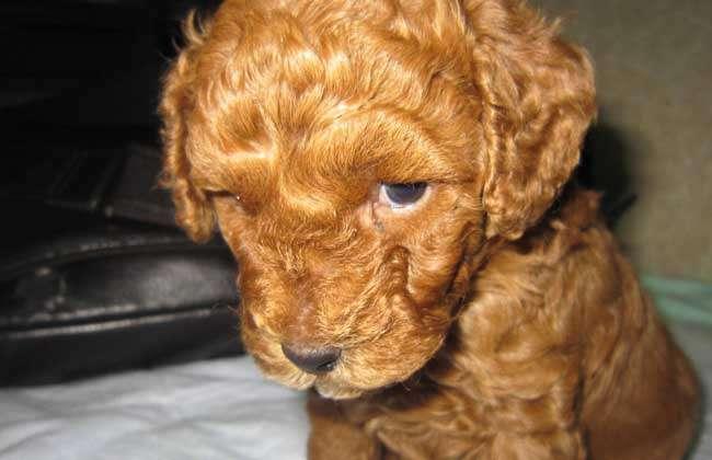 贵宾犬长白毛的三大原因及应对方法
