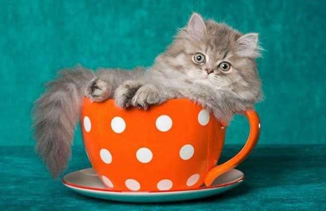 茶杯猫寿命有多长? -宠物饲养