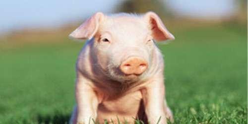 养猪补贴有所调整 ?金额和申请流程您得知道!