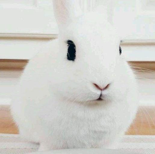 宠物频道 动物图片   侏儒海棠兔是一种小型的宠物,也被叫做侏儒熊猫