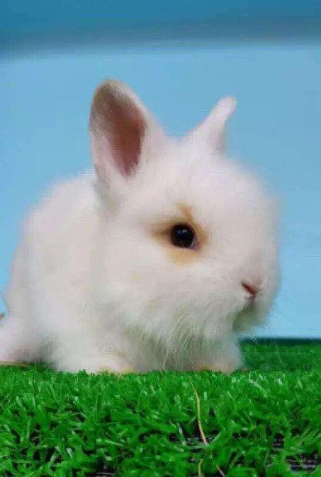 荷兰侏儒兔图片 -动物图片